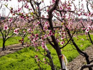 Cherry Blossom In Rural Portugal 3 - Hortense Travel