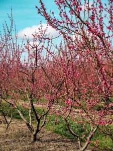 Cherry Blossom in Rural Portugal