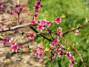 Cherry Blossom In Rural Portugal 7 - Hortense Travel