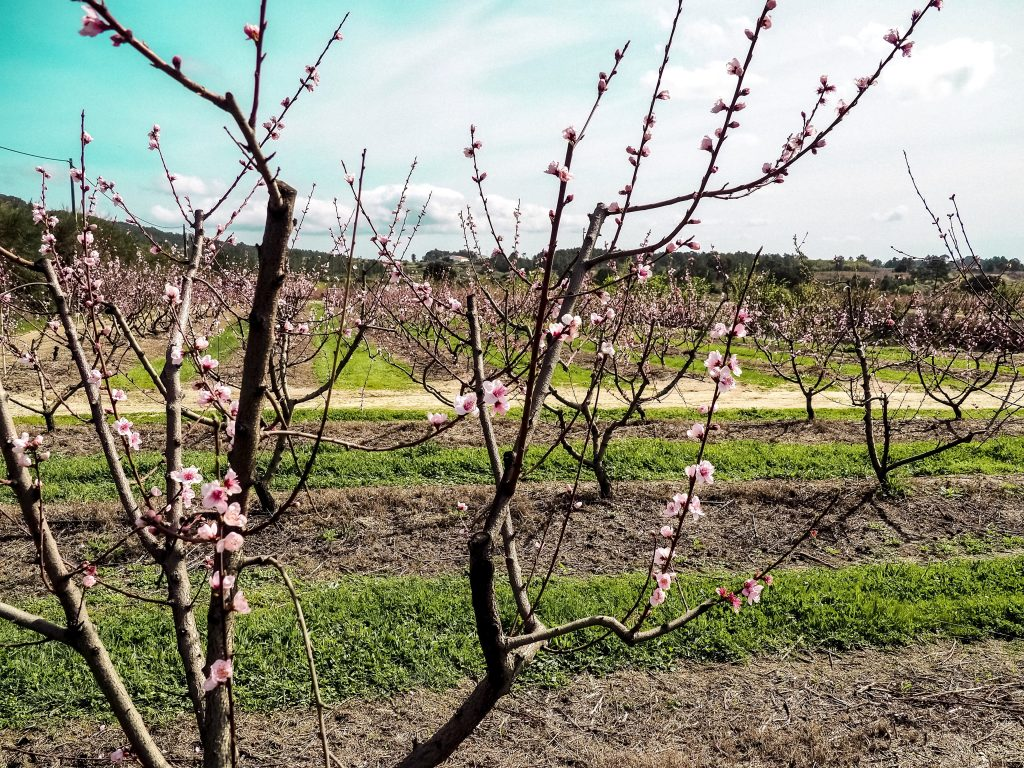 The Serenity Of The Cherry Blossom In Rural Portugal - Hortense Travel
