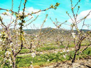 Cherry Blossom In Rural Portugal 10 - Hortense Travel