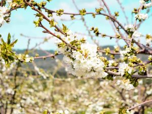 Cherry Blossom In Rural Portugal 11 - Hortense Travel
