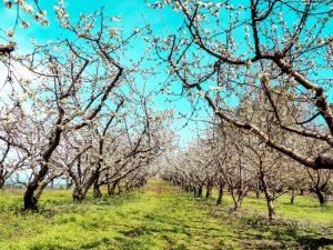 Cherry Blossom In Rural Portugal 16 - Hortense Travel