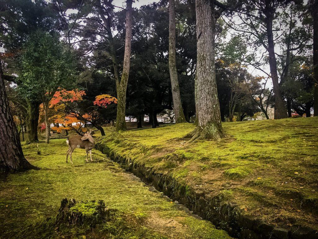 Nara-Park-Japan Deer