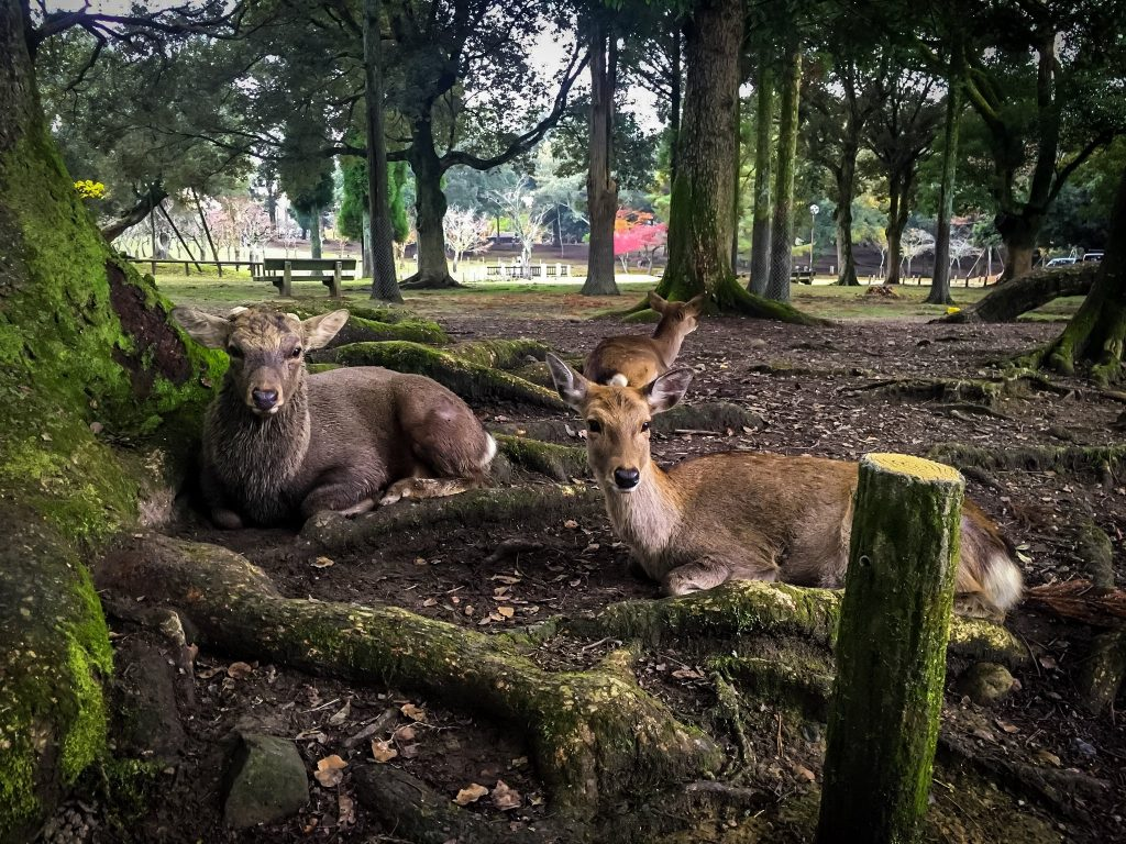 Deer-Resting-Nara-Park-Japan