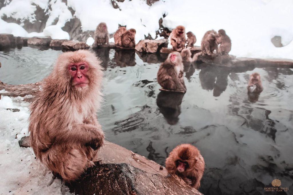 The Life Of The Snow Monkeys Of Japan - Hortense Travel