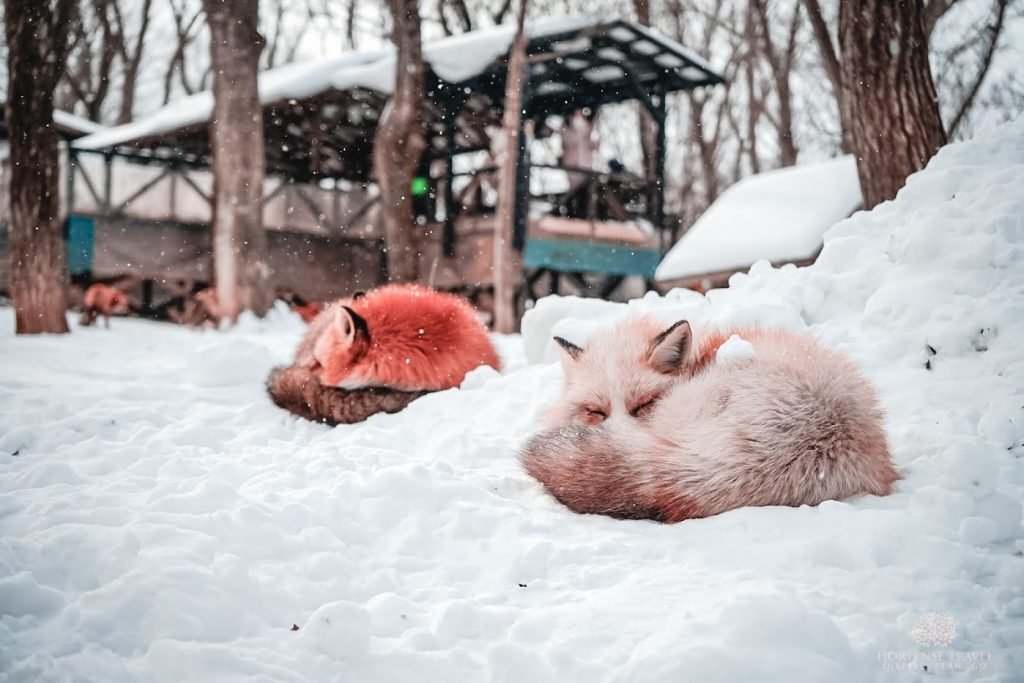 A Quick Tour Of Zao Fox Village - Hortense Travel